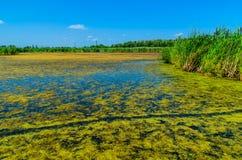 Groene algen op oppervlakte van het meer royalty-vrije stock afbeeldingen