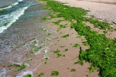 Groene algen over strand Stock Fotografie