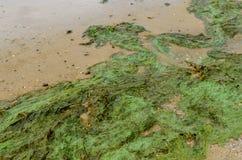 Groene algenverontreiniging op een bank van rivier stock fotografie