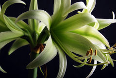 Groene Amaryllis Royalty-vrije Stock Fotografie