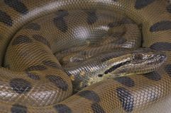 Groene anaconda/Eunectes-murinus Royalty-vrije Stock Afbeeldingen