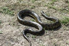 Groene anaconda (Eunectes-murinus) royalty-vrije stock afbeeldingen