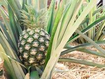 Groene ananas Stock Foto