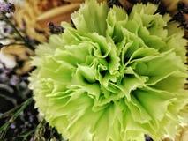 Groene anjer Royalty-vrije Stock Foto
