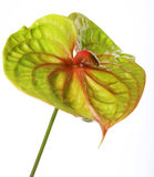 Groene Anthurium royalty-vrije stock afbeeldingen