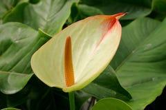 Groene anthurium Royalty-vrije Stock Foto's