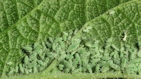Groene aphids op appelblad, macro stock video