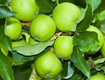 Groene aplles op een boom Royalty-vrije Stock Afbeeldingen