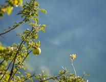 Groene appel in de herfst Stock Afbeeldingen