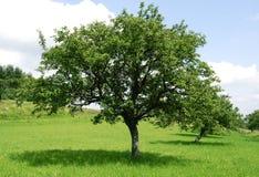 Groene appelboom Royalty-vrije Stock Fotografie