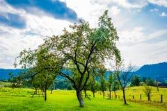 Groene appelboom in de Karpatische bergen Stock Foto's