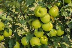Groene appelen in appelboom 2 stock foto's