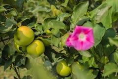 Groene appelen in appelboom 3 Stock Foto