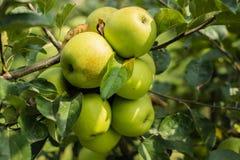 Groene appelen in appelboom 4 Royalty-vrije Stock Foto