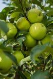 Groene appelen in appelboom 5 Royalty-vrije Stock Foto