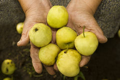 Groene appelen in grandma& x27; s handen Royalty-vrije Stock Afbeelding
