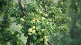 Groene appelen met dalingen na regen op boom stock videobeelden