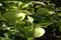 Groene Appelen op boom stock foto