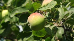 Groene Appelen op de Boom Organisch fruit De mooie appelen rijpen op een tak in de stralen van de zon landbouw stock video