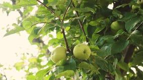 Groene appelen op de tak de mooie appelen rijpen op de boom Landbouwzaken Organisch fruit Appelen op de boom stock videobeelden