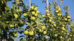 Groene appelen op een Apple-boom tak in tuin stock footage
