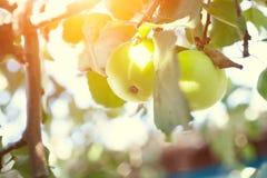 Groene appelen op een boom stock afbeelding