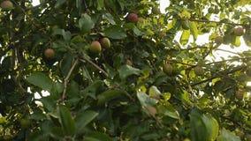 Groene appelen op een boomtak in de tuin Apple-boom in de avond stock videobeelden
