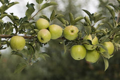 Groene appelen op een tak Royalty-vrije Stock Foto