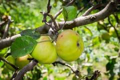 Groene appelen op een tak van een boom stock foto