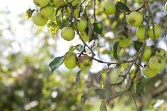 Groene appelen op takken Stock Foto