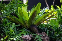 Groene Asplenium-bakermatvaren Royalty-vrije Stock Afbeelding