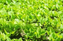 Groene auberginezaailingen in de serre, klaar voor transplantatie op het gebied, de landbouw, landbouw, groenten, milieuvriendeli Royalty-vrije Stock Foto's