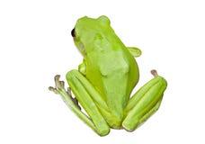 Groene Australische boomkikkers Stock Afbeeldingen