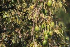 Groene avocado's Stock Afbeeldingen