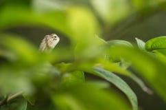 Groene babychameleo Stock Foto