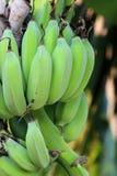 Groene banaan Stock Fotografie