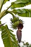 Groene banaan en bloem Royalty-vrije Stock Foto's