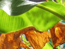 Groene Banaanbladeren en helder zonlicht, textuur en patroon op de oppervlakte van bladeren met droge bladachtergrond stock foto