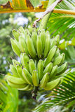 Groene Bananen die in Boom groeien Royalty-vrije Stock Foto's