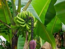 Groene bananen en palmbladen in een banaanboom in Puerto Rico royalty-vrije stock foto