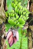 Groene Bananen met Bloem Royalty-vrije Stock Afbeeldingen