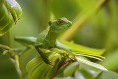 Groene Basilisk - Basiliscus plumifrons stock foto