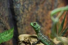 Groene basilisk vrouwelijke close-up royalty-vrije stock afbeelding