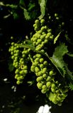 Groene bautiful druiven Stock Foto's