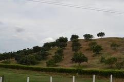 Groene bergen en bomen van koffie Stock Foto