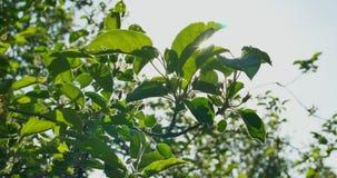 Groene bessen op een struik stock video