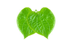 Groene Betel of Piper Betle-bladeren royalty-vrije stock fotografie