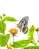 Groene Bevlekte Vlinder Royalty-vrije Stock Foto