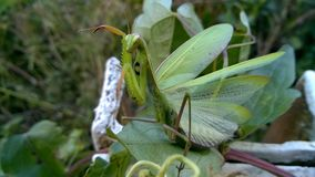 Groene Bidsprinkhanen Het insect van Nice royalty-vrije stock foto's
