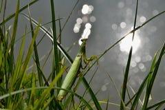Groene bidsprinkhanenzitting in het gras en het bekijken de waterspiegel Bidsprinkhanen Religiosa Royalty-vrije Stock Fotografie